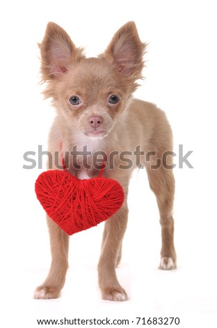 Chihuahua Puppy With Red Valentine Heart Necklace - stock photo
