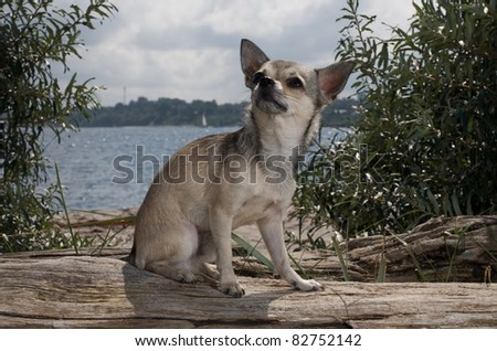 chihuahua sitting at the beach near the water - stock photo