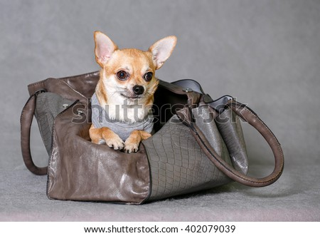 Chihuahua sitting in a bag isolated background