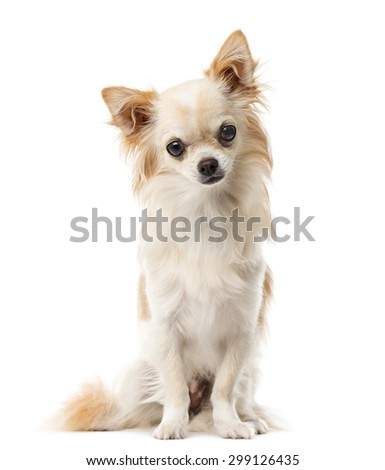 Chihuahua sitting in front of a white background - stock photo