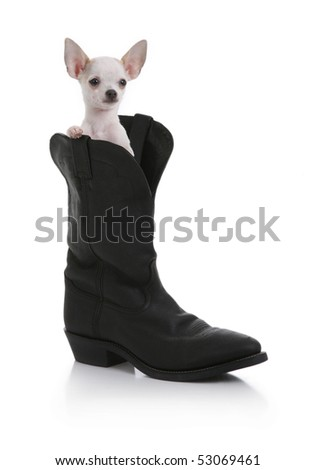 Chihuahua Sitting Inside a Cowboy Boot - stock photo
