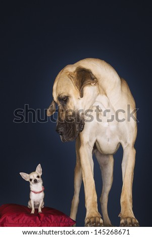 Chihuahua sitting on red pillow with Great Dane standing alongside against black background - stock photo