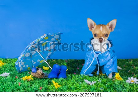 Chihuahua sitting on the grass - stock photo