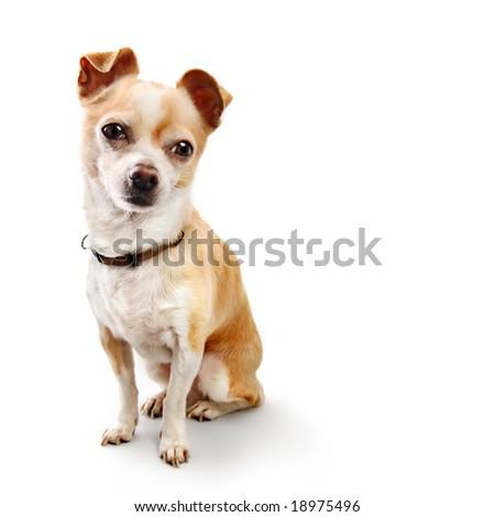 Chihuahua Sitting Upright On White - stock photo