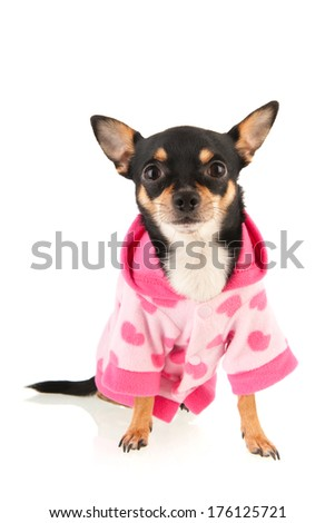 Chihuahua standing isolated over white background - stock photo