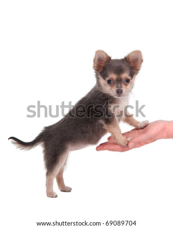 Chihuahua standing on its hind legs, looking at the camera - stock photo