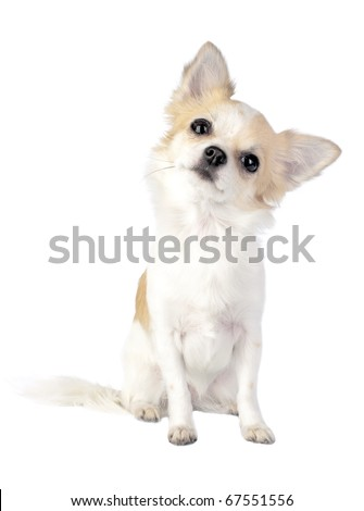 chihuahua tilting head  isolated on white background - stock photo