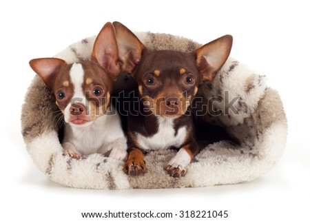 Chihuahua together