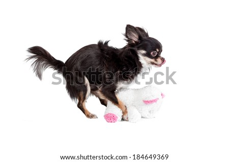 Chihuahua trying to mate with a teddy bear doll - stock photo