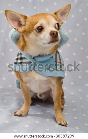 Chihuahua wearing a coat on a blue background
