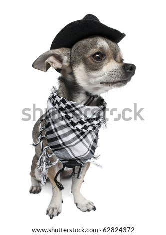 Chihuahua wearing a hat in front of white background - stock photo