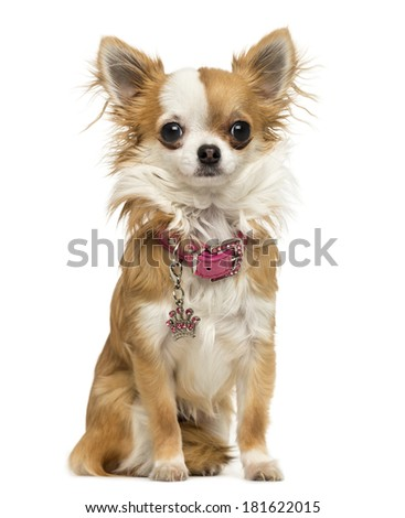 Chihuahua wearing a shiny collar, sitting, 7 months old, isolated on white - stock photo