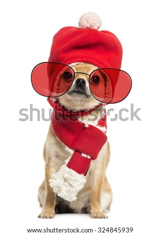Chihuahua wearing christmas hat, scarf and glasses sitting, isolated on white