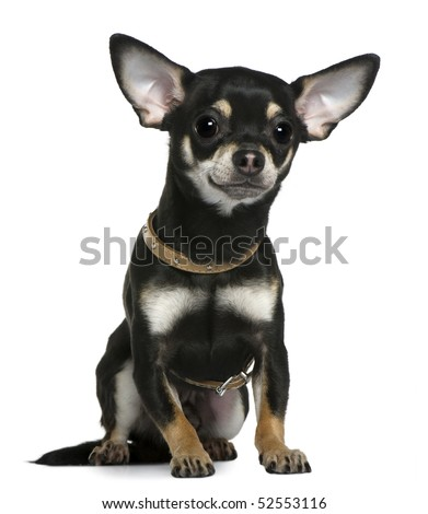 Chihuahua wearing collar, 1 year old, sitting in front of white background