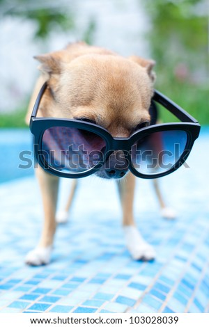 Chihuahua wearing dark shades by the pool