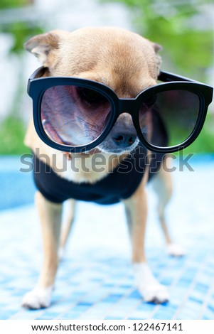 Chihuahua wearing dark shades by the pool - stock photo