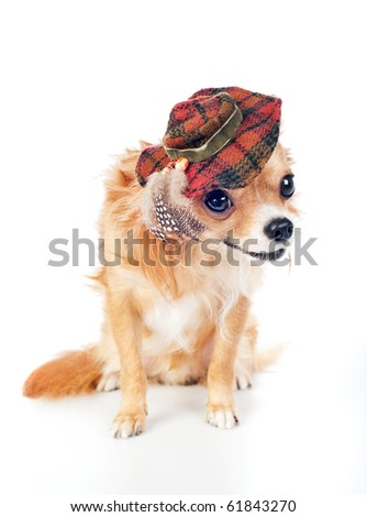 Chihuahua wearing in tartan hat decorated with feathers - stock photo