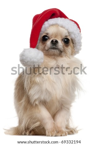Chihuahua wearing Santa hat, 18 months old, sitting in front of white background - stock photo
