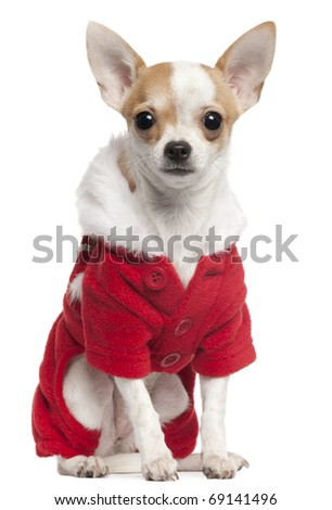 Chihuahua wearing Santa outfit, 2 and a half years old, sitting in front of white background - stock photo