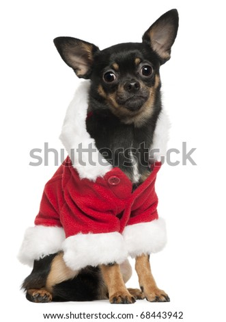 Chihuahua wearing Santa outfit, 10 months old, sitting in front of white background - stock photo
