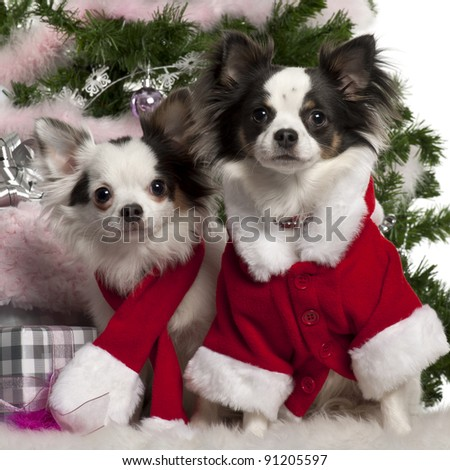 Chihuahua, wearing Santa outfit with Christmas gifts in front of white background - stock photo