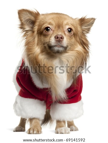 Chihuahua wearing Santa outfit, 1 year old, standing in front of white background - stock photo