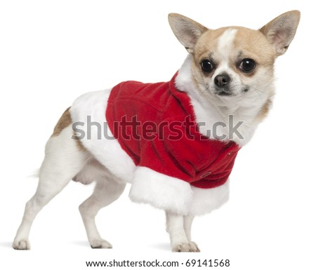 Chihuahua wearing Santa outfit, 3 years old, standing in front of white background - stock photo