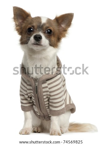 Chihuahua wearing striped jacket, 11 months old, sitting in front of white background - stock photo