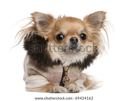Chihuahua wearing sweater, 3 years old, lying in front of white background - stock photo