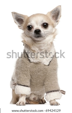 Chihuahua wearing sweater, 4 years old, sitting in front of white background - stock photo