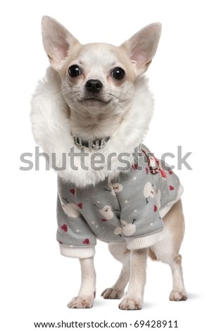 Chihuahua wearing winter outfit, 4 years old, standing in front of white background - stock photo