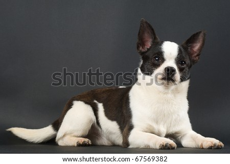 Chihuahua white with black