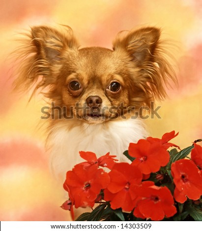 chihuahua with a fed flowers - stock photo
