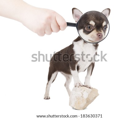 Chihuahua with a magnifying glass