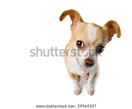 Chihuahua With Big Ears Eavesdrops - stock photo
