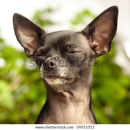 chihuahua with closed eyes