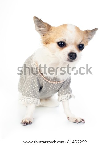 Chihuahua with fashionable dress, pink pearl and manicure - stock photo