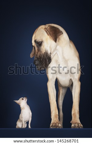 Chihuahua with Great Dane standing alongside against blue background - stock photo