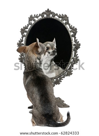 Chihuahua with mirror sitting in front of white background - stock photo