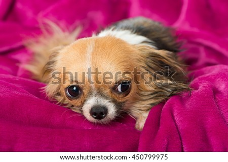 Chihuahua with pink blanket