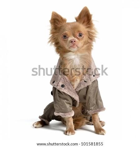 Chihuahua with raincoat isolated - stock photo