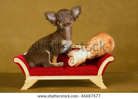 Chihuahua with rawhide bone on couch sofa on gold background - stock photo