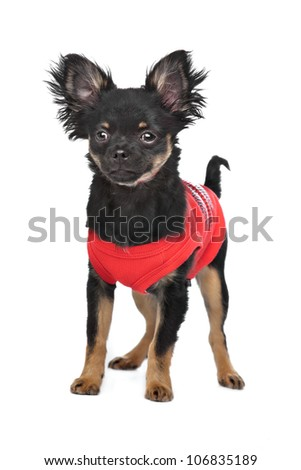 chihuahua with red shirt in front of a white background - stock photo