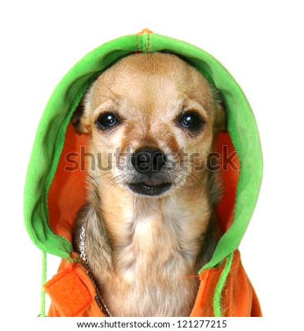 chihuahua with some bling and a jacket - stock photo