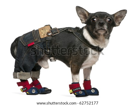 Chihuahua, 1 year old, dressed up and standing in front of white background - stock photo
