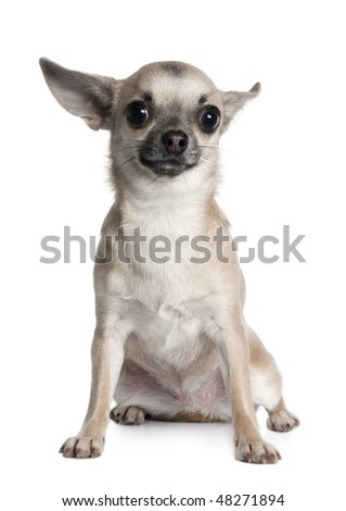 Chihuahua, 1 year old, sitting in front of white background - stock photo