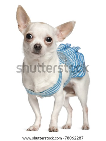 Chihuahua, 1 year old, wearing blue striped dress and standing in front white background - stock photo