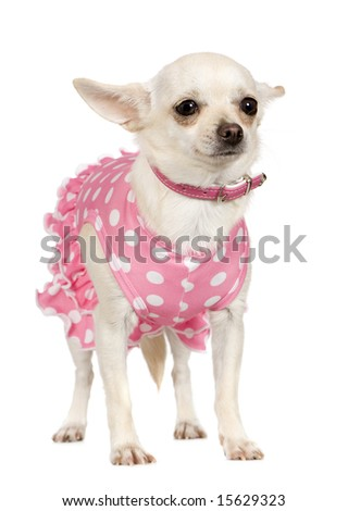 chihuahua (2 years) in front of a white background - stock photo