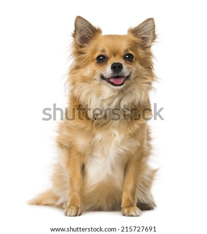 chihuahua (3 years old) - stock photo