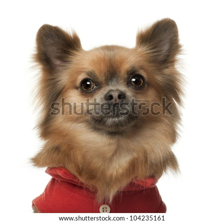 Chihuahua, 3 years old, against white background - stock photo